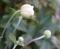 秋明菊つぼみ