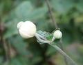 [花][秋明菊]秋明菊つぼみ