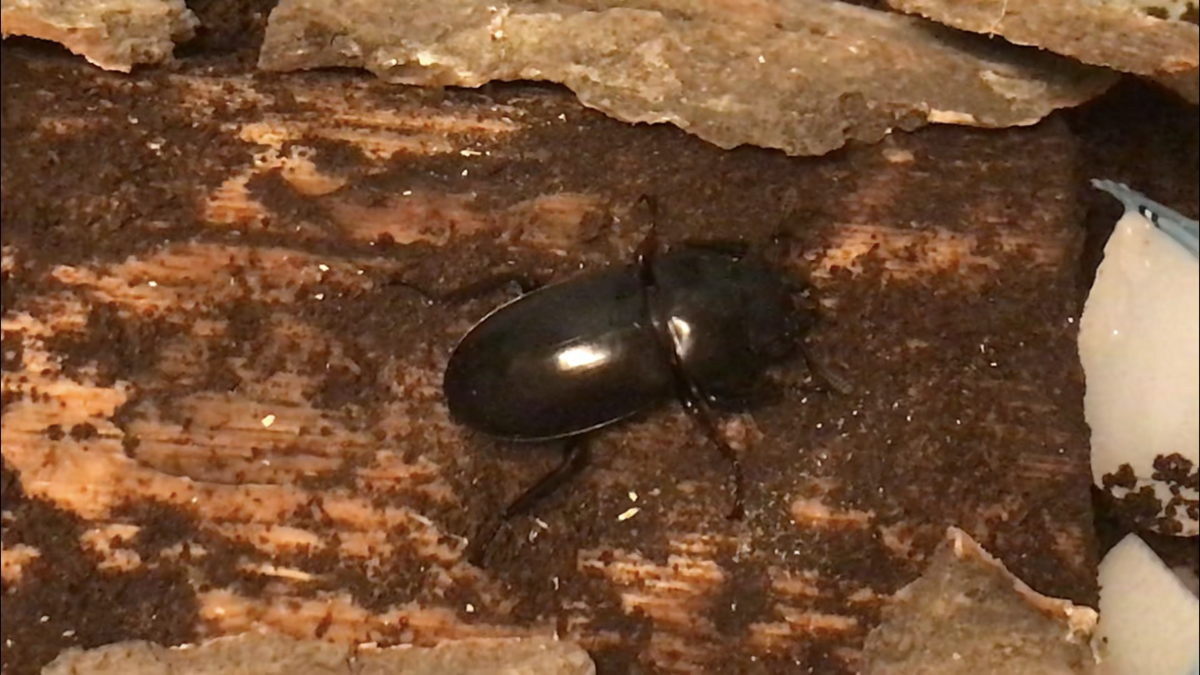 f:id:youwanna-beetles:20190810175426p:plain