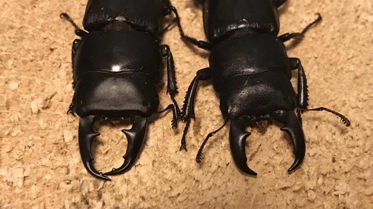 f:id:youwanna-beetles:20191125180102p:plain