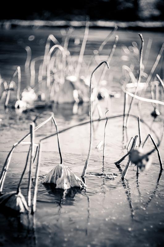 凍り付いた池に枯れた蓮が伸びてとてもドラマチックです。白黒写真