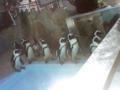 アドベンチャーワールド ペンギン 2