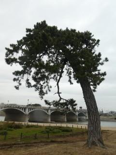 武庫川河川敷・松写真