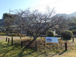 向島ヒガンザクラ蓬莱桜写真