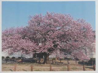 向島寒桜写真