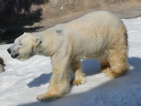 旭山動物園・ホッキョクグマ写真