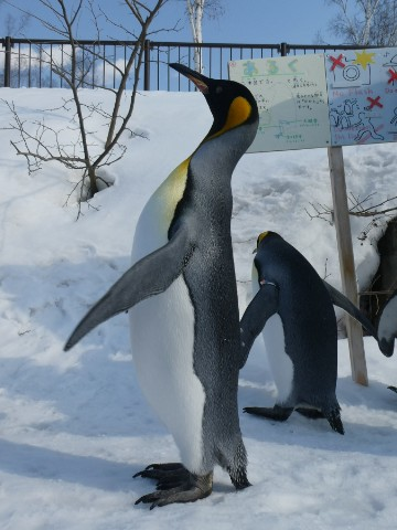 旭山動物園・ペンギンの散歩写真