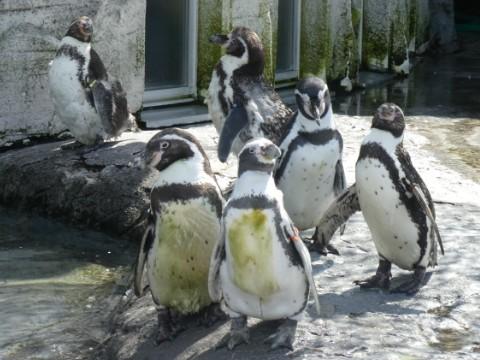 旭山動物園・ペンギン写真