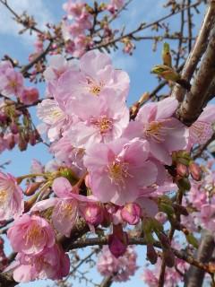 谷津大観音前の桜写真