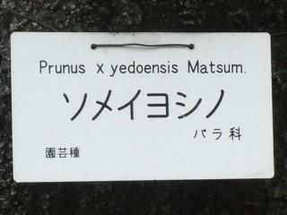小石川植物園・ソメイヨシノ表示板写真