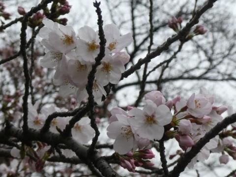 小石川植物園サクラ写真
