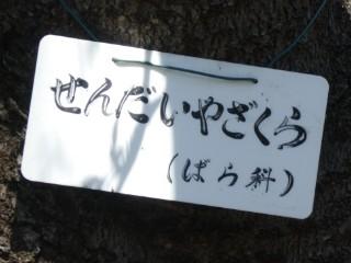 牧野記念庭園・センザイヤザクラ写真
