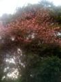 久里浜小学校の緋寒桜