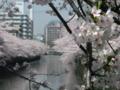 [桜]目黒川