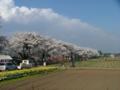 [桜]眞原桜並木