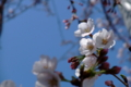 [桜]開花