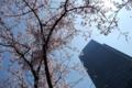 [桜]東京ミッドタウン