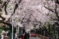 [桜]青山霊園