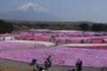 [桜][富士山]芝桜