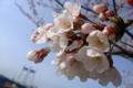 [桜]多摩川