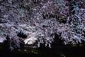 [桜]夜桜