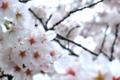 [桜]さくら
