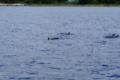 [海]イルカウォッチング