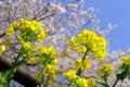 [桜][菜の花]帰り道