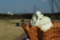 狭山茶ソフト
