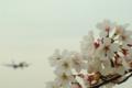 [桜][飛行機]さくらの山公園