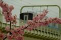 [桜][列車]多摩川橋梁