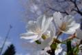 [桜]桜ヶ丘公園