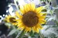 [花]向日葵