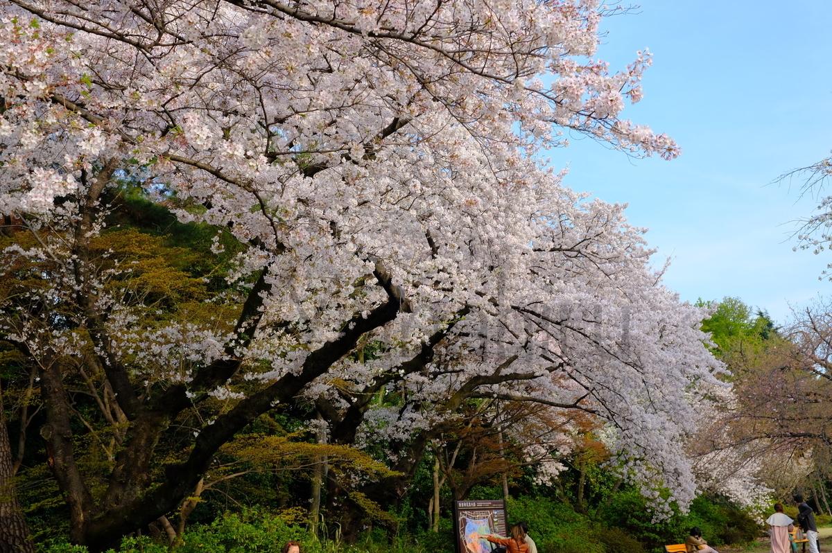 新宿御苑満開の桜