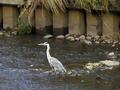 [鳥]近くの川で出会った鳥