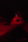 新江ノ島水族館 深海魚は彼らが認識できない赤い光で飼育する。