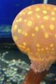 [水族館][クラゲ]新江ノ島水族館 タコクラゲ 水槽越しに目の前を