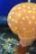 新江ノ島水族館 タコクラゲ 水槽越しに目の前を