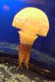 [水族館][クラゲ]新江ノ島水族館 タコクラゲ 水玉の模様がある。