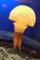 新江ノ島水族館 タコクラゲ 水玉の模様がある。