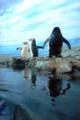 [水族館][ペンギン]新江ノ島水族館 仲の良い奥の二羽を見つめる手前のペンギン