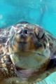 [水族館][動物]新江ノ島水族館 水槽越しのアカウミガメの顔 突然近づいてきた。