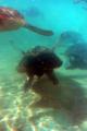 [水族館][動物]新江ノ島水族館 アカウミガメの泳ぎ去る姿