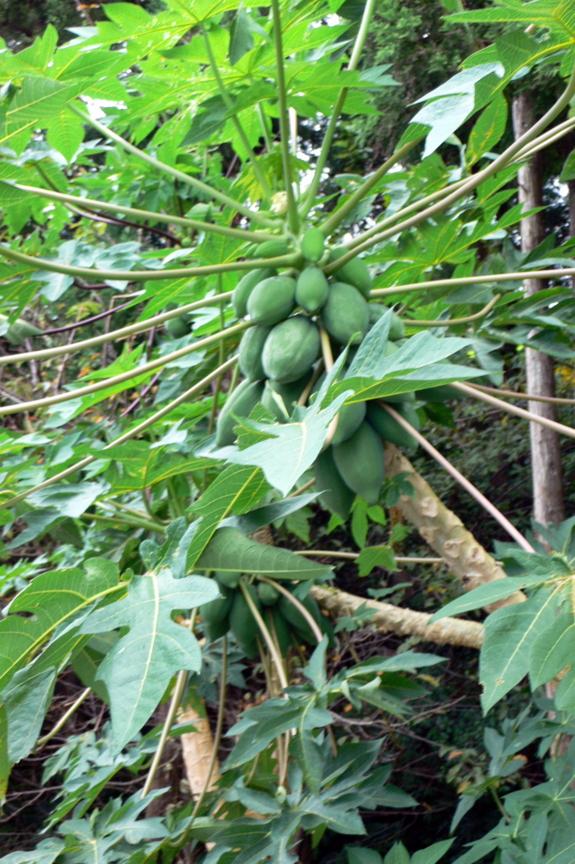 屋久島を周回する県道沿いに植えられていたパパイヤ