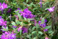 [旅行][屋久島][植物]屋久島を周回する県道沿いあちこちに植えられているノボタン