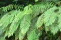 [植物][旅行][屋久島]屋久島、安房林道ぞい。屋久島は降雨量多く、湿度も高く、シダの宝庫
