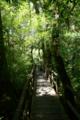 [植物][旅行][屋久島]屋久島、ヤクスギランド。入口からすぐの「ときめきの径」付近。