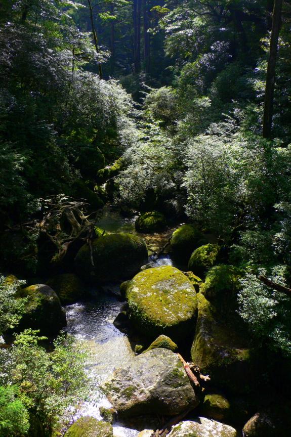 屋久島、ヤクスギランド。林泉橋から荒川をのぞむ。岩が苔むしている