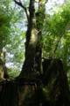 [植物][旅行][屋久島]屋久島、ヤクスギランド。切り株が苔むし新たな命が宿る。「切株更新