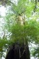 [植物][旅行][屋久島]屋久島、ヤクスギランド。千年杉。屋久杉の中ではまだ若いほう。